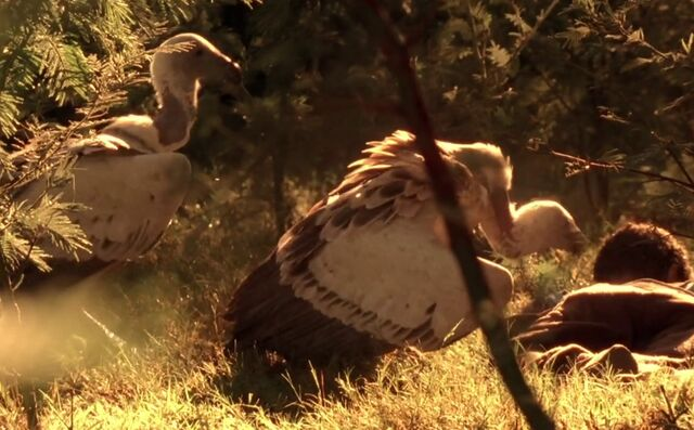 File:7x00 vultures.jpg
