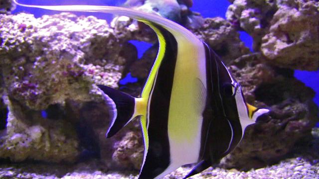 Categor a peces de agua salada wiki acuariofilia for Pez cuchillo cristal