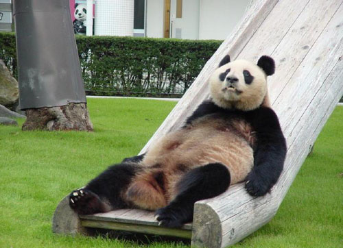 File:AnimalImages Funny Panda.jpg