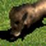 Wild-boar-icon