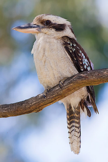 Laughing Kookaburra.png