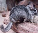 Long-tailed Chinchilla