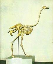 Asian Ostrich Skeleton.jpg