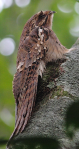 Long-tailed Potoo on stump