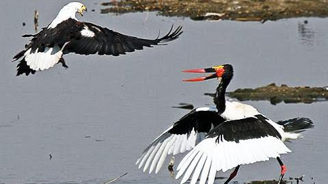 African Fish Eagle Steals a Saddle-Billed Stork's Well Earned Meal