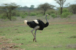Somali Ostrich.jpg