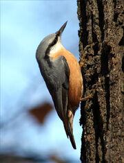 Sitta europaea wildlife 2 1.jpg