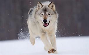 File:A snowy wolfy.jpg