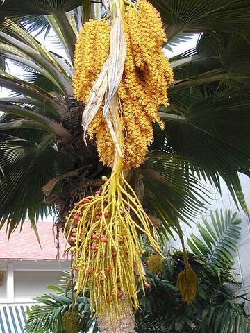 File:450px-Pritchardia flowers.jpg