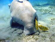 800px-Dugong Marsa Alam