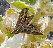 File:187px-Sphinx moth on rock nettle at Mosaic Canyon.jpg