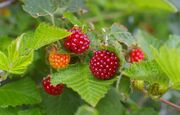 Domesticated Salmonberry