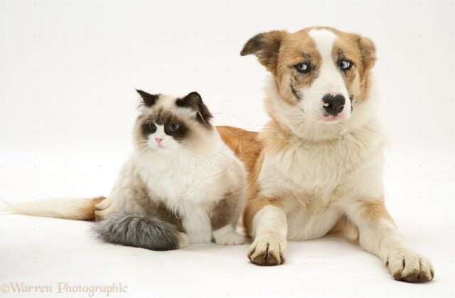 File:20730-Bicolour-colourpoint-cat-with-red-merle-Border-Collie-white-background.jpg