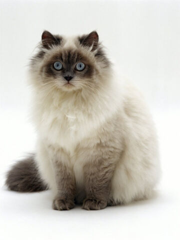 File:Jane-burton-domestic-cat-blue-colour-point-birman-cross.jpg