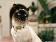 Simese-cat-43882455604