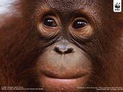 Orangutan wwfwallpaper