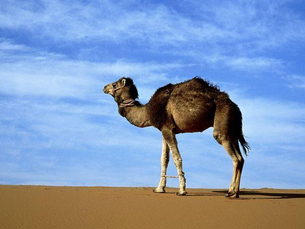 File:Arabian-camel 223 600x450.jpg