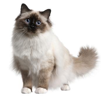 File:Birman-cat 13667652.jpg