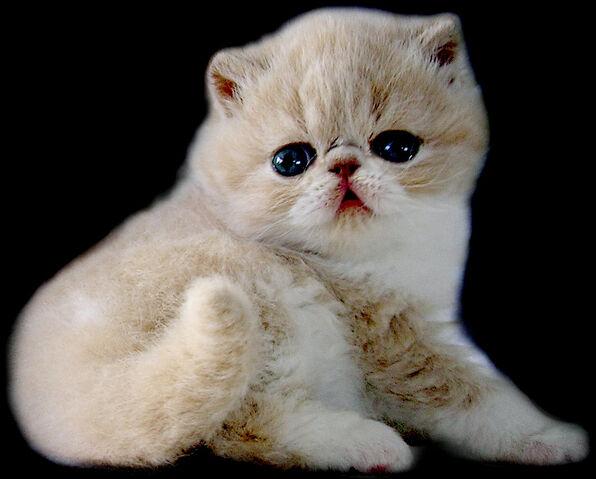 File:Cute-persian-cats-11.jpg