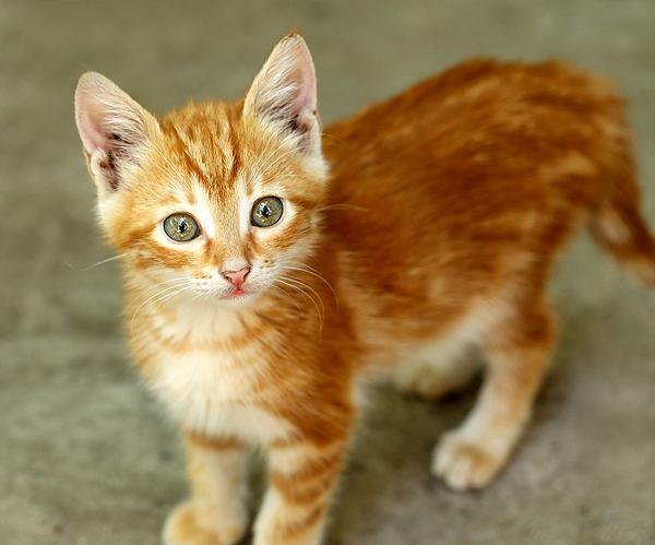 Orange tabby kittens for adoption