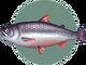 King Salmon (City Folk)