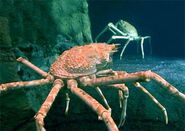 Real red king crab