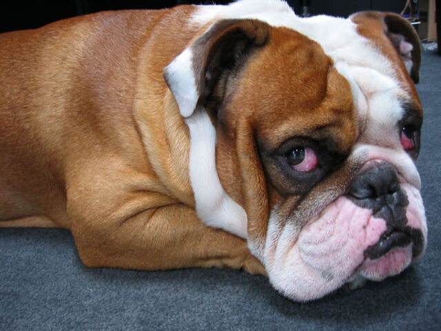 File:Bulldogs Dog04.jpg