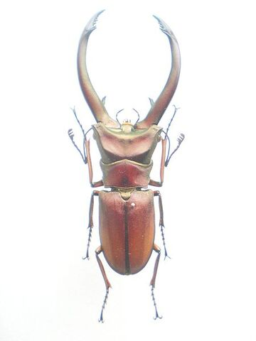 File:Cyclommatus red.jpg