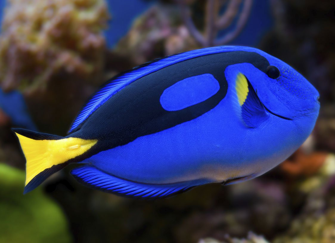 Pez cirujano animal crossing enciclopedia fandom for Picture of dory fish