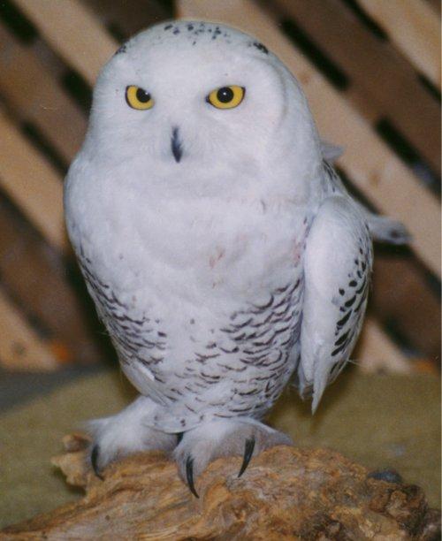 Cute baby white owl - photo#50