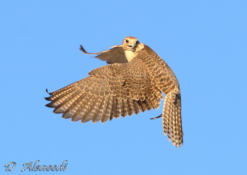 File:Free flight of the hawk.jpg