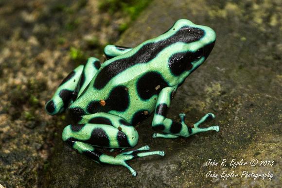 Green and Black Poison Dart Frog | Animal Database ...