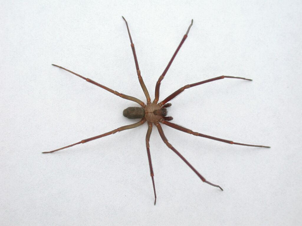 What does a wolf spider look like