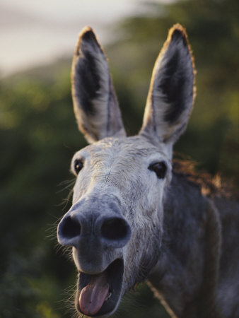 File:Braying donkey.jpg
