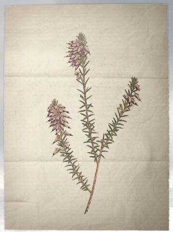 File:ACS DB Herbaceous Heath.jpg