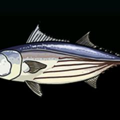 Skipjack Tuna - Rarity: Common, Size: Large