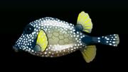 SmoothTrunkfishACP