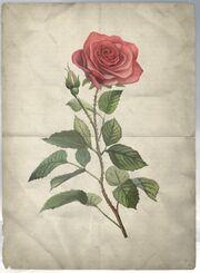 ACS DB Rose