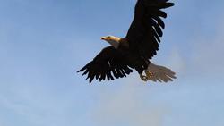 ACRG Bald Eagle