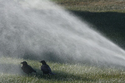 Two crows standing in the mist thrown off by a lawn sprinkler.