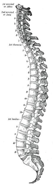 Vertebral-column