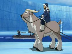 Buffalo yak