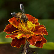 Asiatic-honey-bee