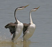 Western-Grebe-(mating-dance)-brian-currie