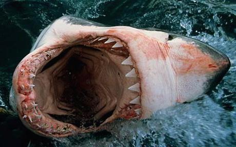 File:Shark 1716929c.jpg