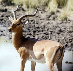 Regular impala
