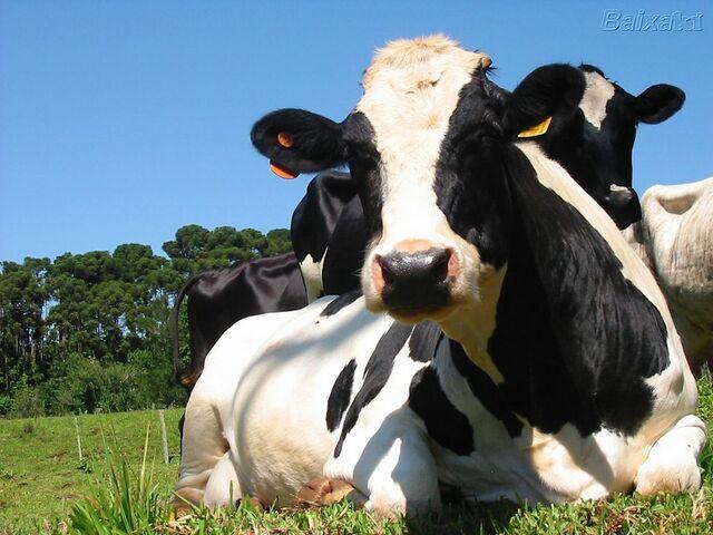 Ficheiro:Vaca.jpg