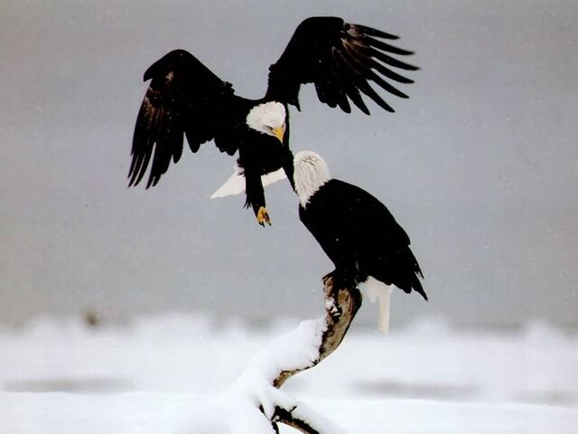 File:Personal image Eagles in snowy wasteland.jpg