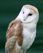 Alyceowl