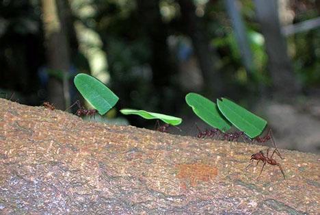 File:Leaf cutter ants.jpg